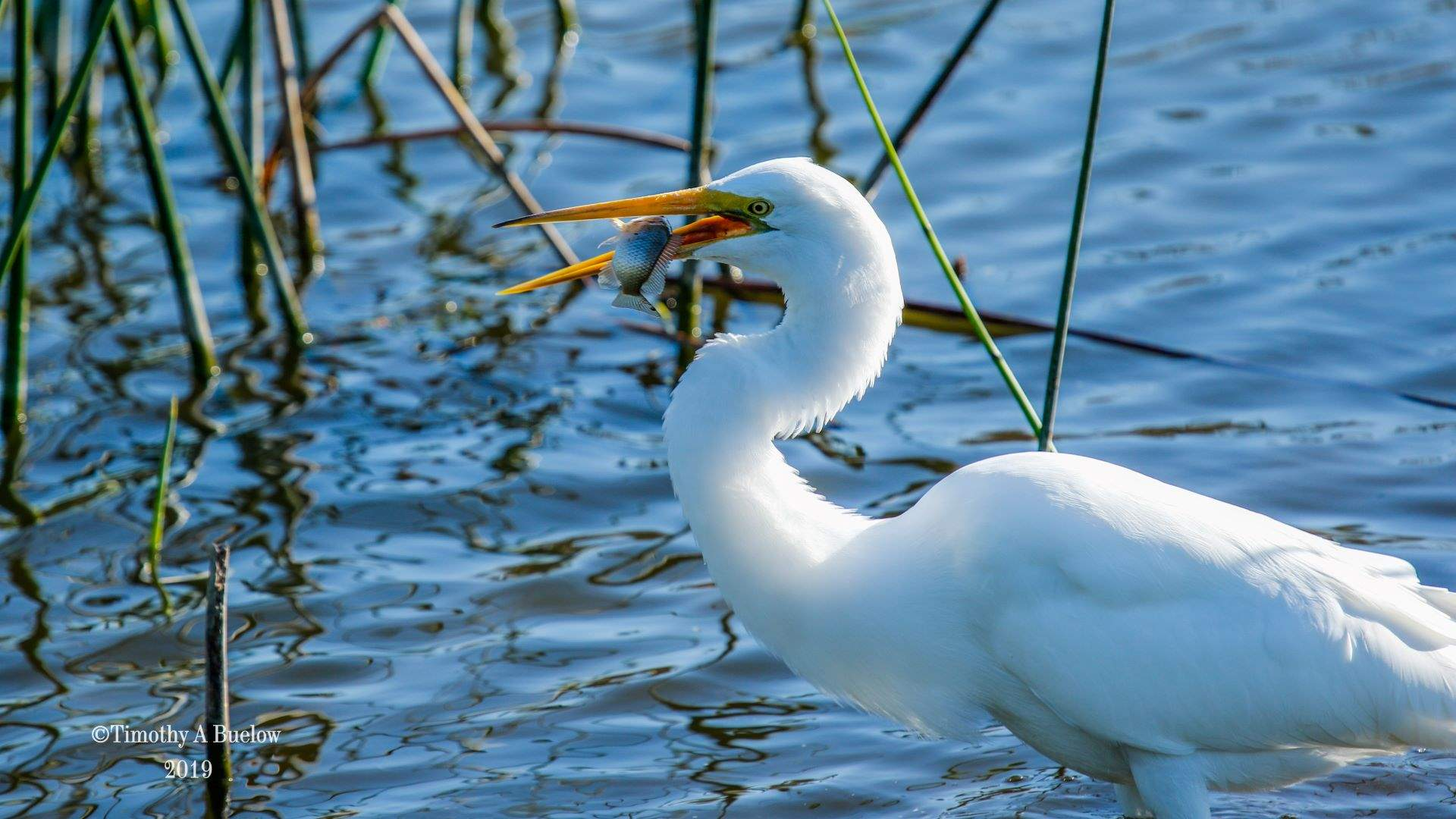 Home_Nature_Photo_Gallery_Great_White_Heron_1