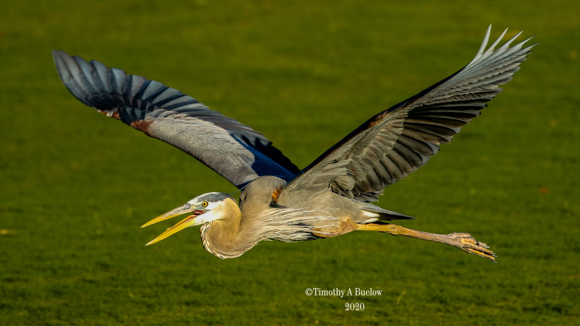 Home_Nature_Photo_Gallery_Great_Blue_Heron