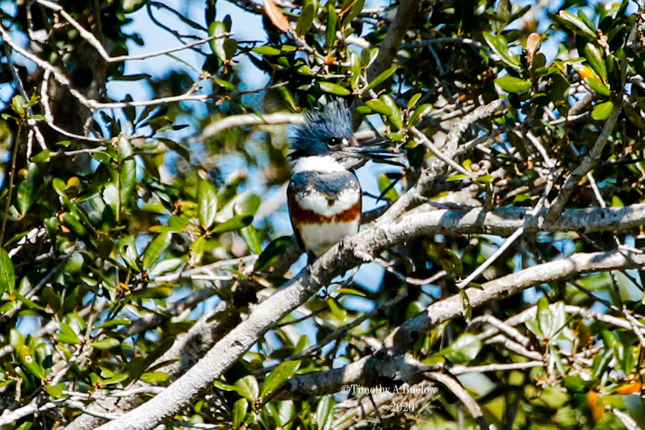 Belted_Kingfisher-1