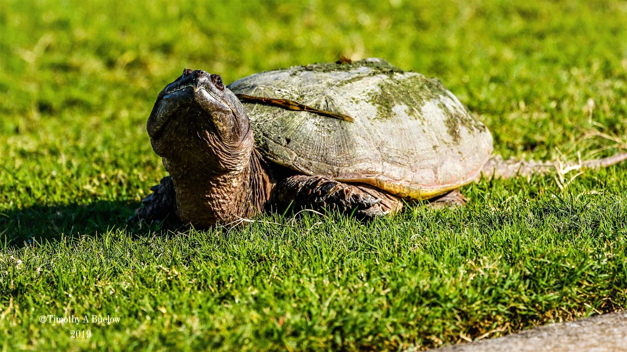 Home_Nature_Photo_Gallery_Snapping_Turtle
