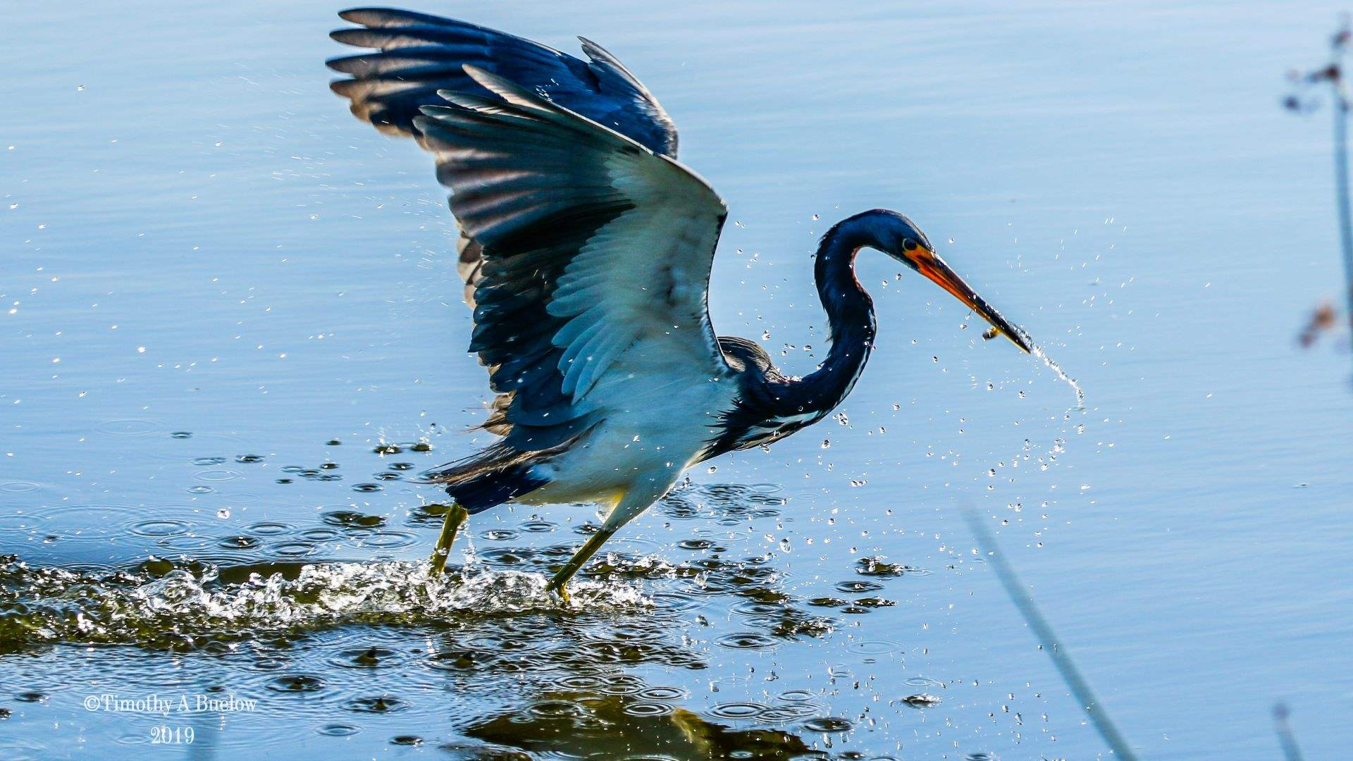 Home_Nature_Photo_Gallery_Tri-Colored_Heron-29
