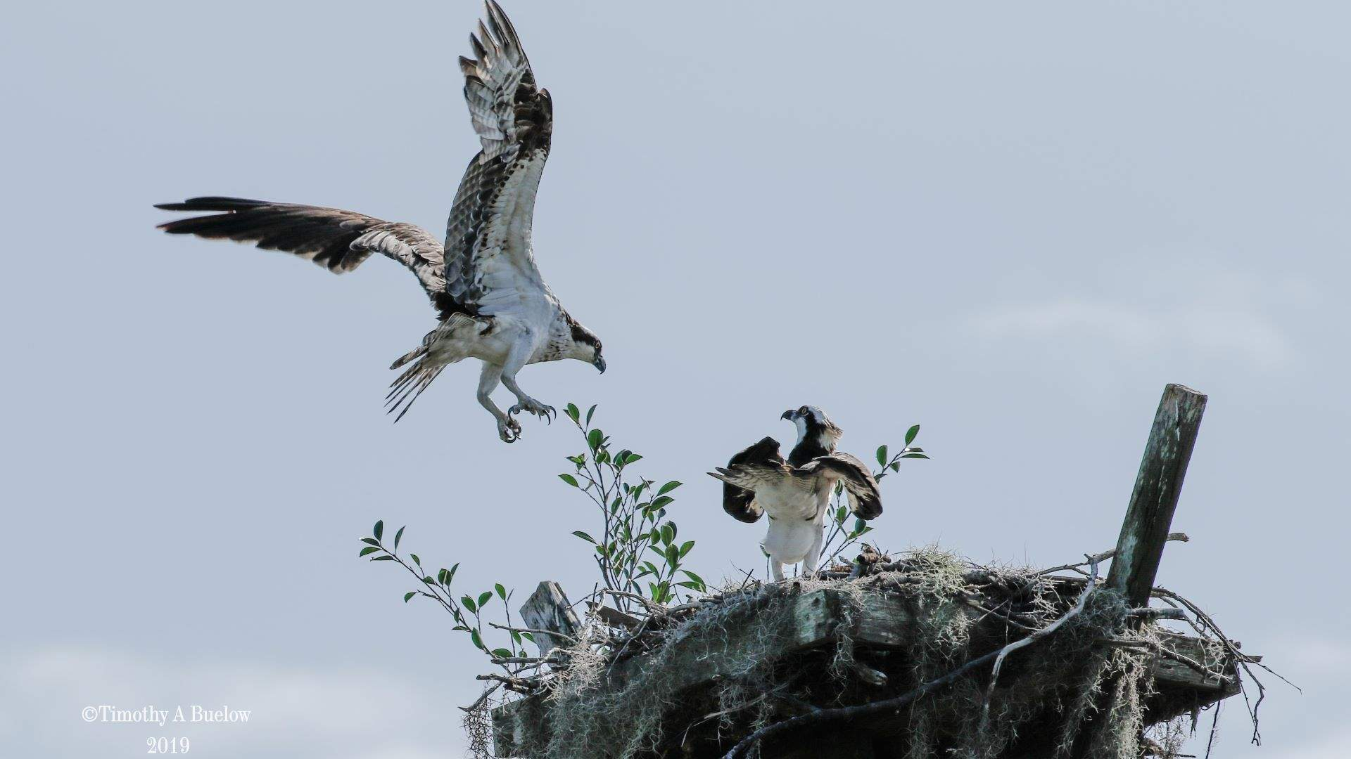 Home_Nature_Photo_Gallery_Osprey